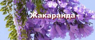 Растение жакаранда