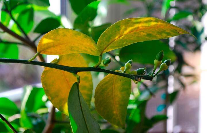 Причины пожелтения о отпадания листьев лимонного дерева