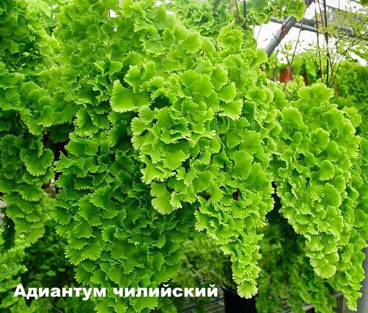 Вид растения - Адиантум чилийский