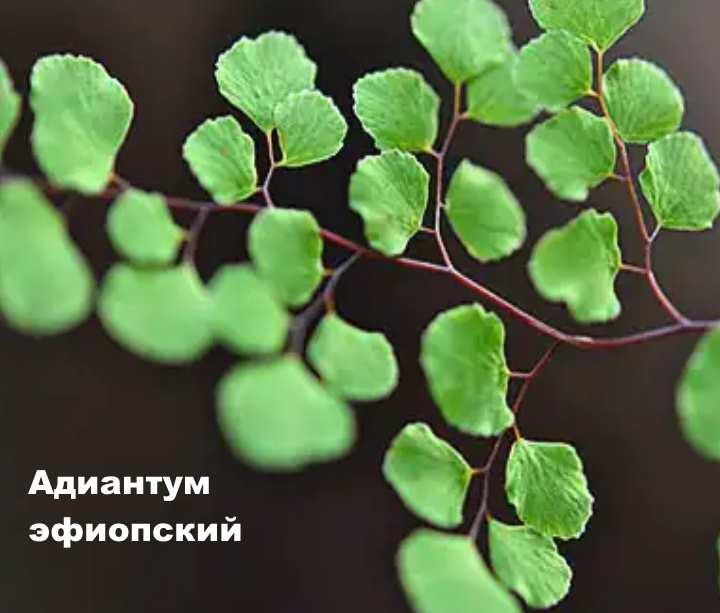 Вид растения - Адиантум эфиопский