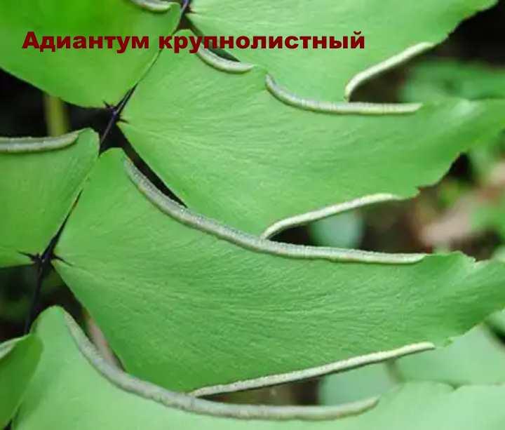 Вид растения - Адиантум крупнолистный