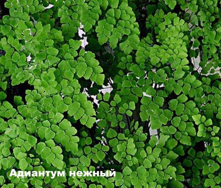Вид растения - Адиантум нежный