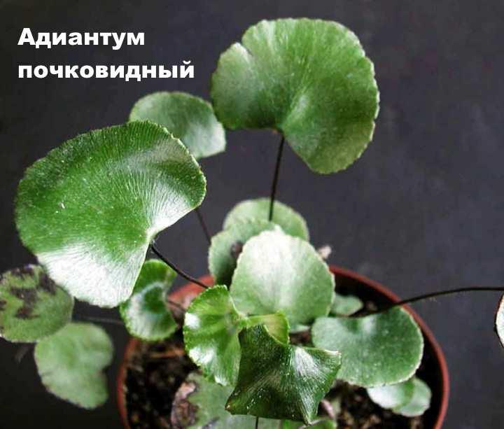 Вид растения - Адиантум почковидный