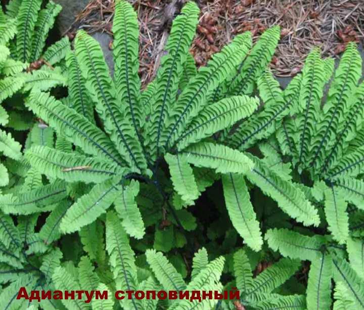 Вид растения - Адиантум стоповидный