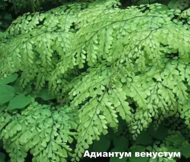 Вид растения - Адиантум венустум