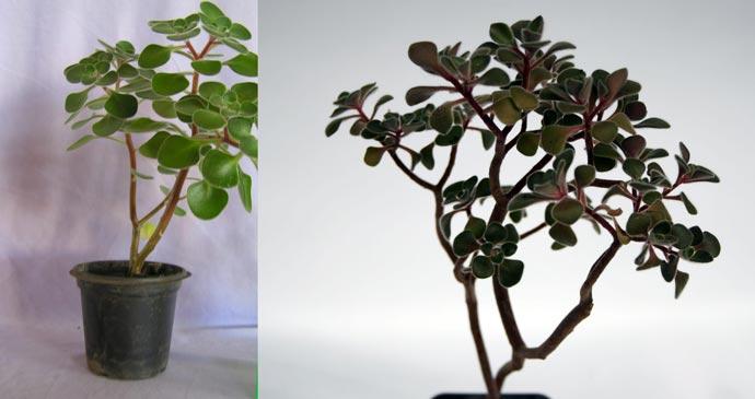 Оголенные и вытянутые стебли аихризона