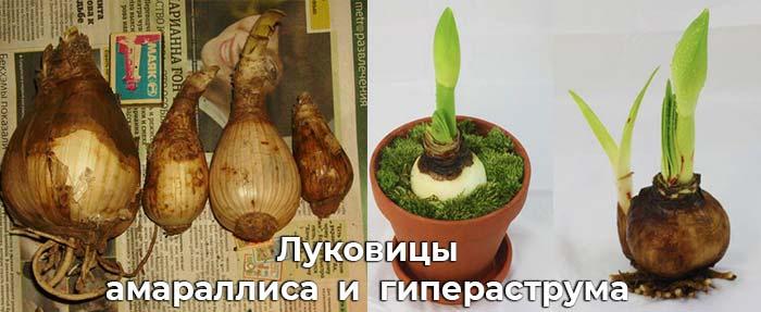Луковицы Амариллиса и гипераструма