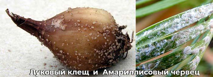 Луковичный клещ и Амариллисовый червец