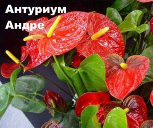 Растение Антуриум Андре