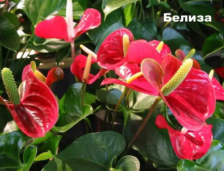 Растение вида - Антуриум Андре Белиза