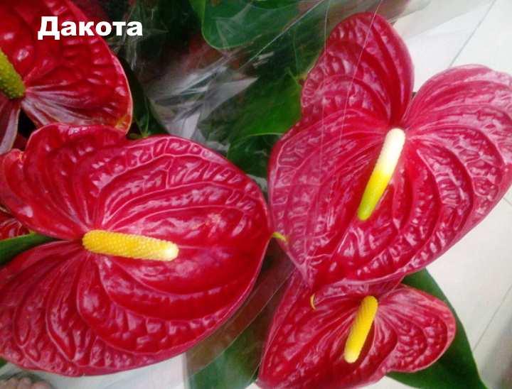 Растение вида - Антуриум Андре Дакота