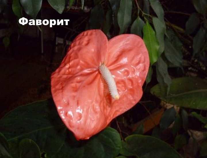 Растение вида - Антуриум Андре Фаворит
