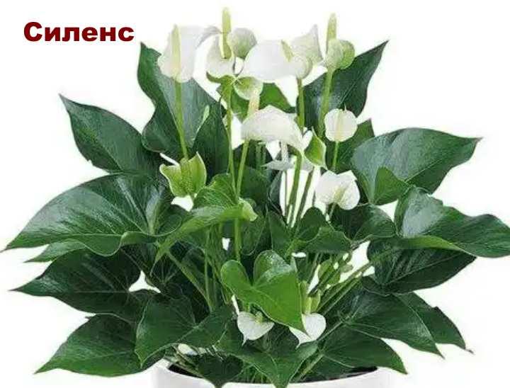 Растение вида - Антуриум Андре Силенс