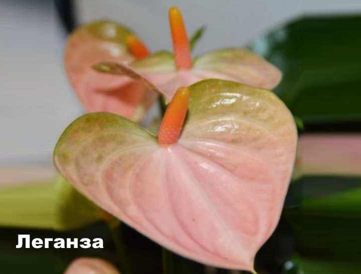 Растение вида - Антуриум Андре леганза