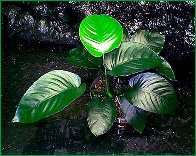 Растение Анубиас для палюдариума