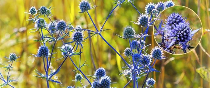 Синеголовник в поле