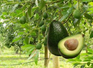 Дерево авокадо и плод в разерзе