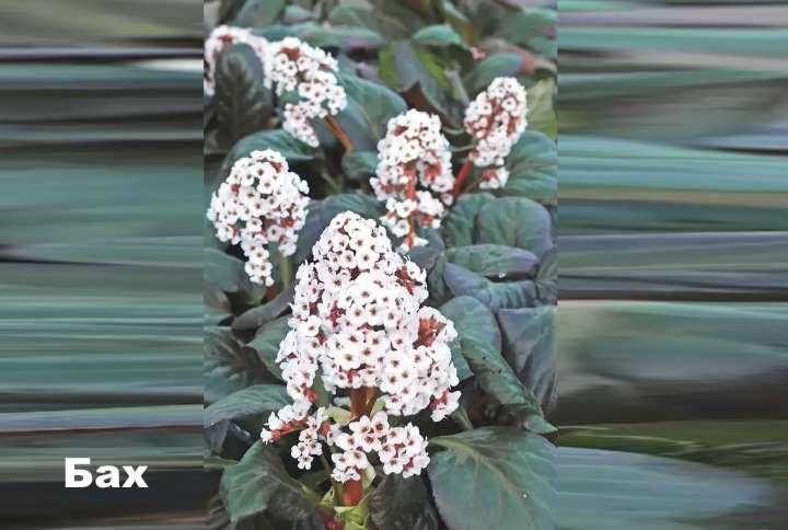 Вид растения - Бах бадан