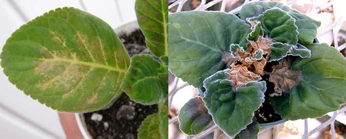Серая гниль на листе и корневая гниль на глоксинии