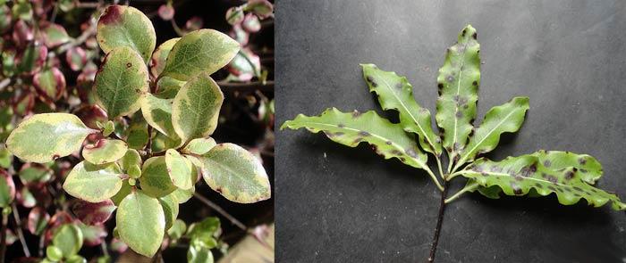 Поврежденные листья питтоспорума