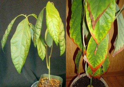 Пожелтение и пятна на листьях авокадо