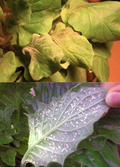 Гниль и тля на листьях герберы