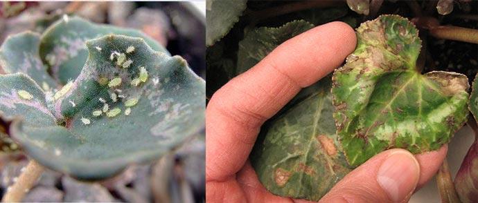 Пятна и тля на листья цикламена