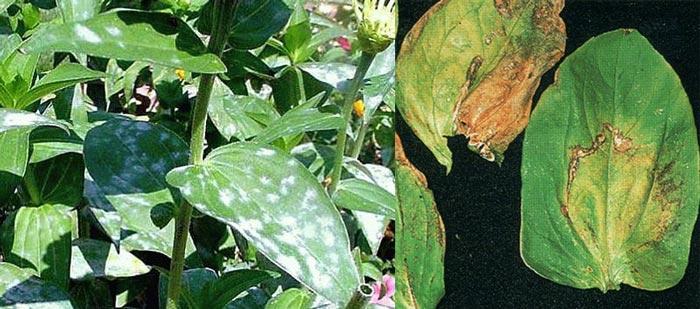 Пятна на листьях циннии