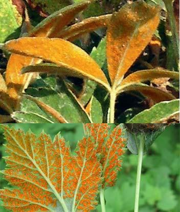Ржавчина на листах лапчатки кустарниковой