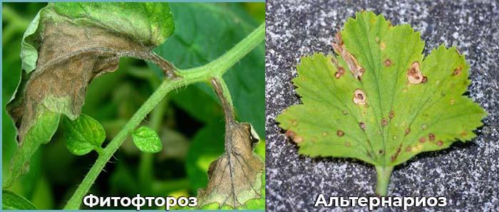 Альтернариоз и фитофтороз