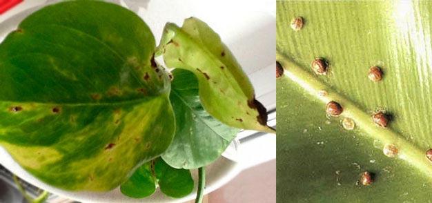 Пятна и пробелмы на листьях сциндапсуса
