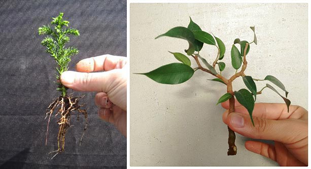 Черенки растений для бонсай