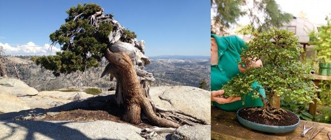 Природные бонсай деревья