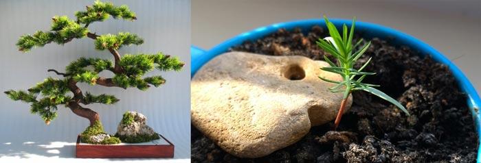 Сосна бонсай из семян