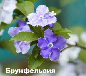 Растение Брунфельсия