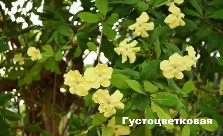 Вид растения - Брунфельсия Густоцветковая