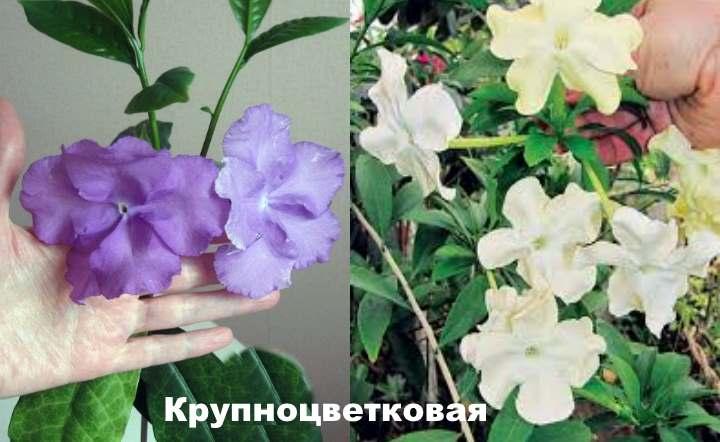 Вид растения - Брунфельсия Крупноцветковая