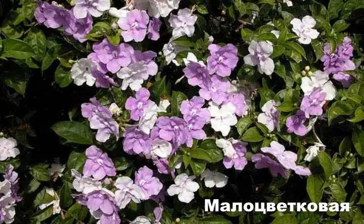 Вид растения - Брунфельсия Малоцветковая