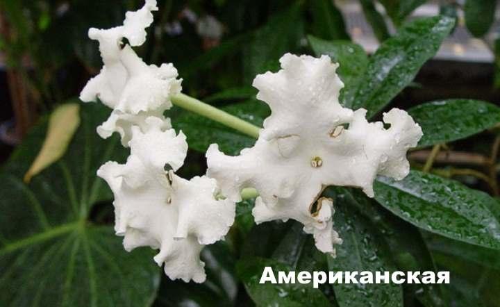 Вид растения - Брунфельсия американская
