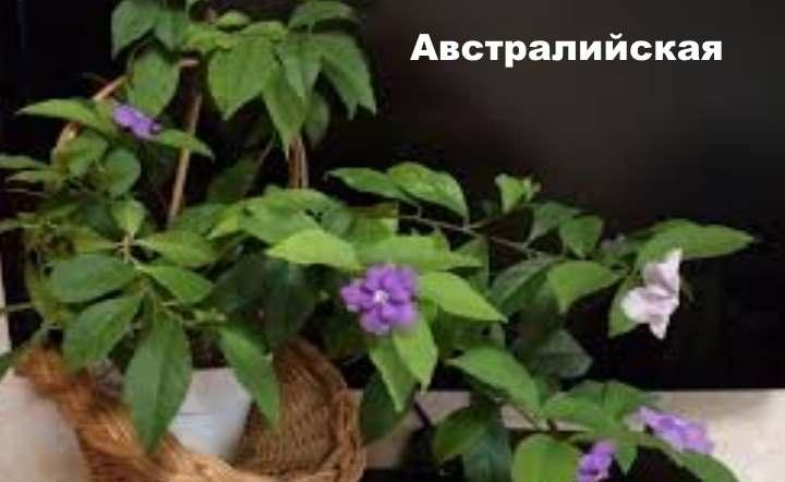 Вид растения - Брунфельсия австралийская