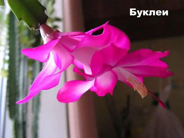 Вид растения - Буклеи шлюмбергера