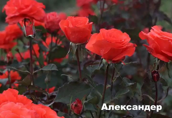 Вид розы - Александер