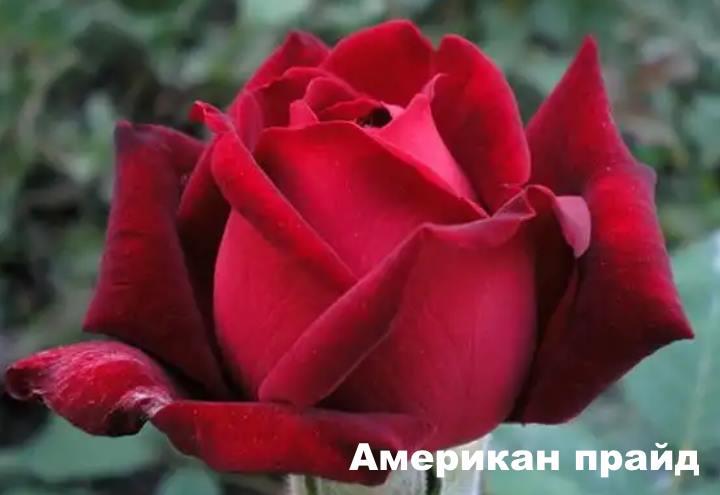 Вид розы - Американ прайд