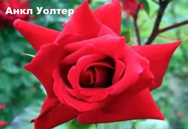 Вид розы - Анкл Уолтер
