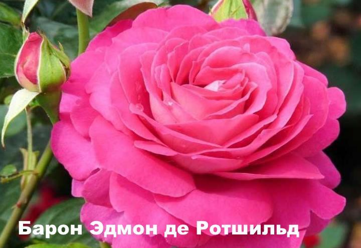Вид розы - Барон Эдмон де Ротшильд