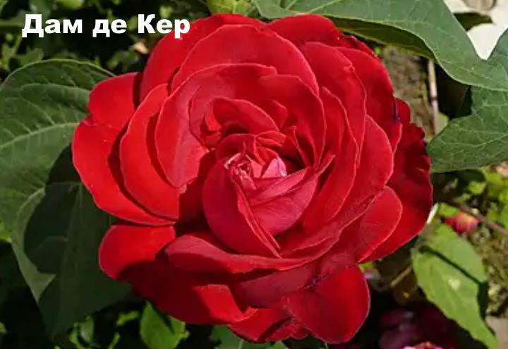 Вид розы - Дам де Кер