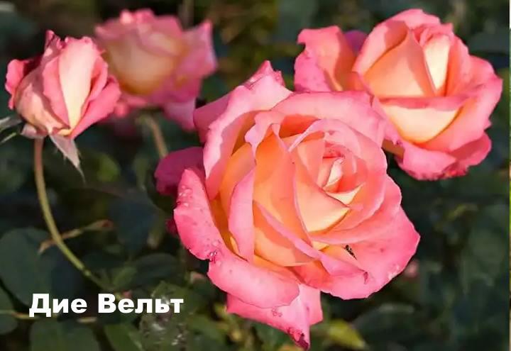 Вид розы - Дие Вельт