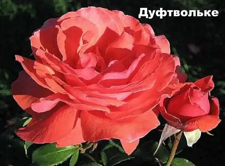 Вид розы - Дуфтвольке