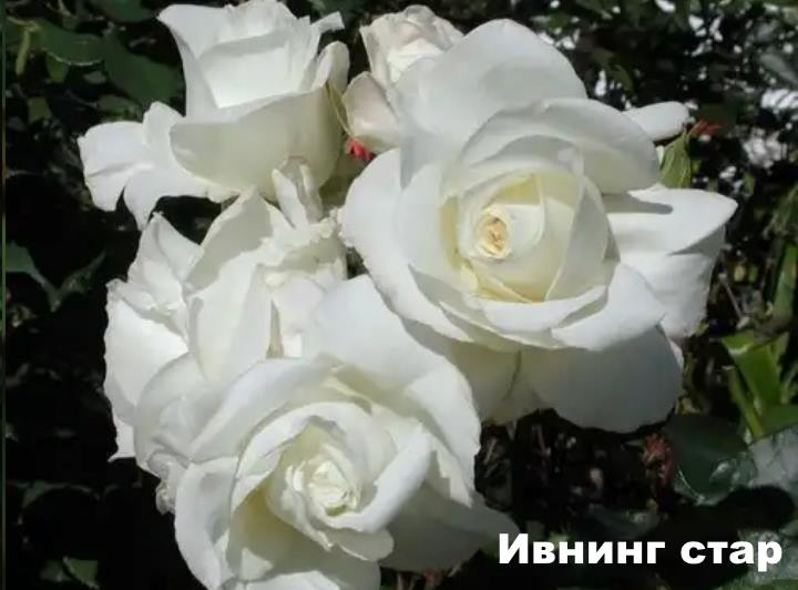Вид розы - Ивнинг стар