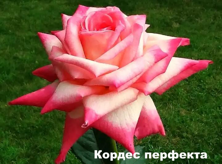 Вид розы - Кордес перфекта